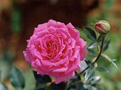 050707_rose