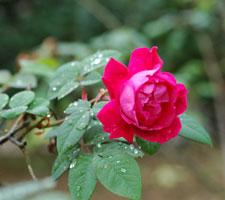 051113_rose